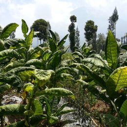 End Child Labor in Indonesia's Tobacco Fields