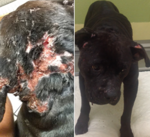 abused-pit-bull-by-wichita-police-deparment
