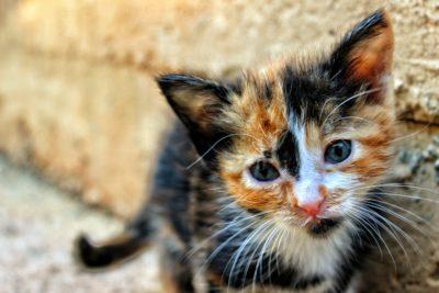 https://www.pexels.com/photo/kitten-cat-animal-pet-17773/