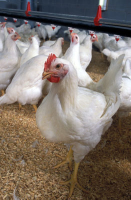 broiler-chicken-by-us-department-of-agriculture