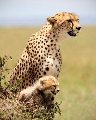 cheetah_and_cub_zambog