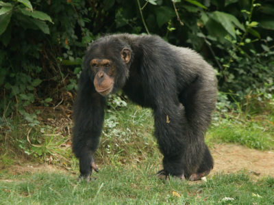 chimp-hans-hillewaert