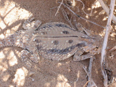 flat-tailed-horned-lizard-by-california-dept-fish-and-wildlife