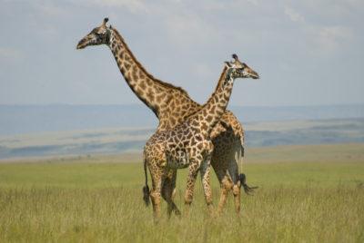 giraffes_paulmannix
