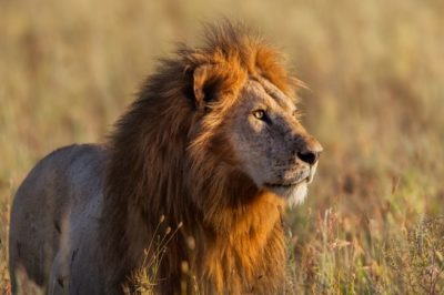 lion-maggy-meyer