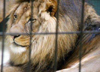 lion-in-zoo-by-bernhard-mulhens