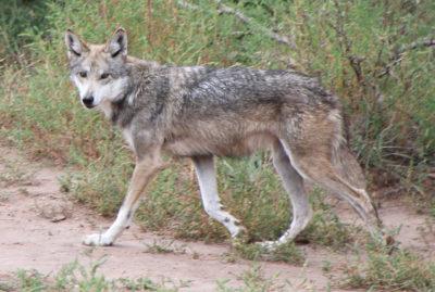 mexican-gray-wolf-by-tony-higsett