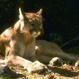 Save Threatened Mountain Lion Population