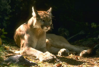 mountain-lion-by-california-dept-of-fish-and-game