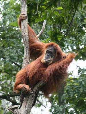 orangutan-by-greg-hume