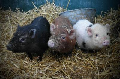piglets-by-j-p