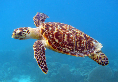 sea-turtle-by-u-s-fish-and-wildlife-service-southeast-region