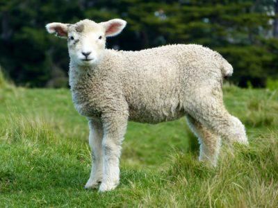 sheep-publicdomainpictures