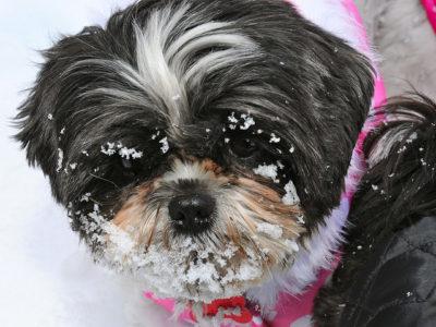 shih-tzu-cozy-snow-day-36-by-dottie-flower-and-candy-shih-tzu
