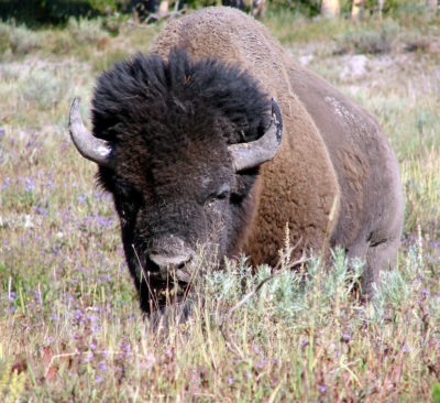 yellowstone-bison-by-don-graham