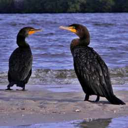 Stop the Killing of Thousands of Cormorants