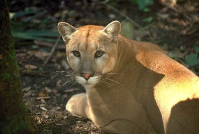 florida-panther-by-u-s-fish-and-wildlife-service