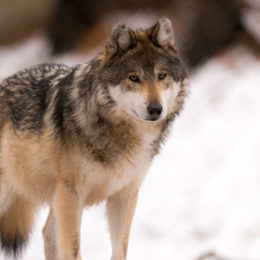 Stop Allowing Hunters to Kill Endangered Species