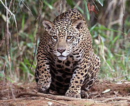 Save Wild Jaguar From Impending Extinction