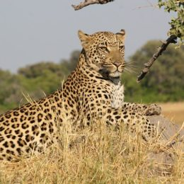 Save Southern African Leopards From Extinction