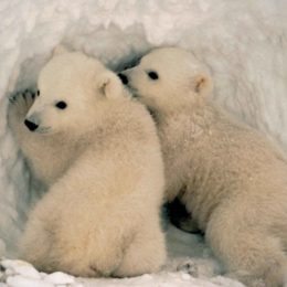 Save Baby Polar Bears From Toxic Chemicals