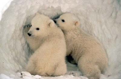polar_bear_cubs_in_the_snowbyusfws