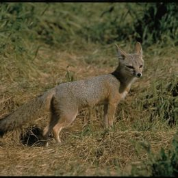 Don't Harm Endangered Foxes With Housing Development