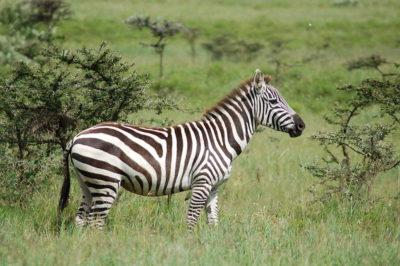 zebra-by-joachim-huber