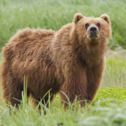 Urge Trump to Retain Ban on Extreme Hunting in Alaska