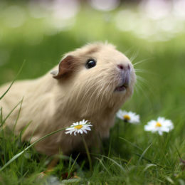 Guinea Pigs Whose Slaughter was Posted on Social Media Deserve Justice