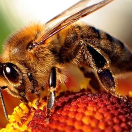 Make Proposed Ban on Bee-Harming Pesticides a Reality