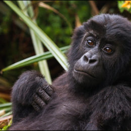 Save Endangered Gorillas from Illegal Mining