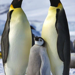 Save the Emperor Penguin From Extinction