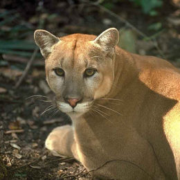 Save Endangered Florida Panther from Imminent Extinction