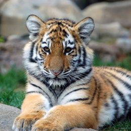 Justice for Tiger Shot by Police