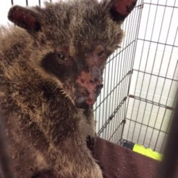 Justice for Baby Raccoon Burned Nearly to Death
