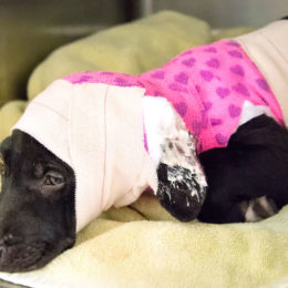 Justice for Puppy Allegedly Burned With Hot Oil and Denied Veterinary Care