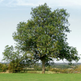 Save Ash Tree from Extinction