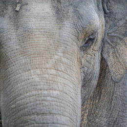 Send Suman the Elephant to a Sanctuary