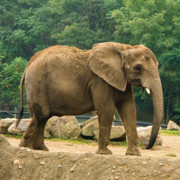 "Justice for Elephant Starved to Death as ""Punishment"""
