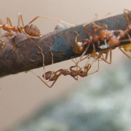 Fight Invasive Fire Ants in Hawaii