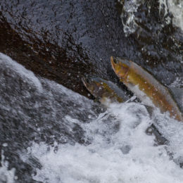 Protect Wild Salmon From Dangerous Virus