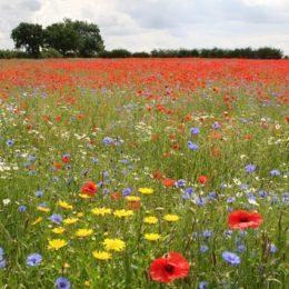 Convert Farmland Into Wildflower Meadows to Help Wildlife
