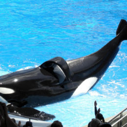 Ban Captive Breeding of Orcas for Human Entertainment