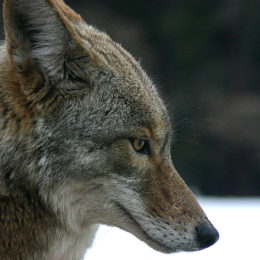 Stop City From Killing Coyotes