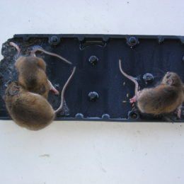Demand Community Home Stop Using Glue Traps