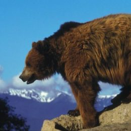 Save Yellowstone's Grizzly Bears from Hunters