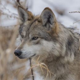 Justice for Wild Wolf Shot and Killed