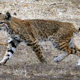 Don't Hunt and Slaughter Wild Bobcats