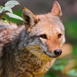 Stop City's Potential Coyote Slaughter